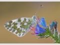 Magli-Giovanni_Pontia-Edusa e fiori di Echium