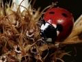 coccinella giuseppe filisetti