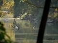 Marco Rota 3 cormorani