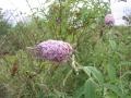 Albero delle farfalle Buddleja davidii Ivan Bonfanti