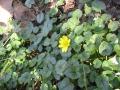 Favagello Ranunculus ficaria Ivan Bonfanti