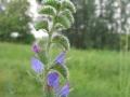 Ivan-Bonfanti-Erba-viperina-Echium-vulgare