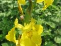 Ivan-Bonfanti-Iris-giallo-Iris-pseudacorus